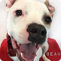 Adopt A Pet :: Beau - Toledo, OH