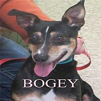 Adopt A Pet :: Bogey - Warren, PA