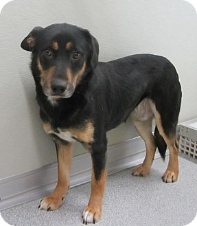 Australian Kelpie/Shepherd (Unknown Type) Mix Dog for adoption in Lincolnton, North Carolina - Lil Man