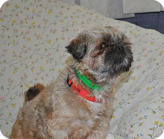 Shih Tzu/Brussels Griffon Mix Dog for adoption in Tumwater, Washington - Simba