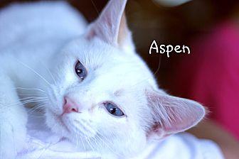 Siamese Cat for adoption in Wichita Falls, Texas - Aspen
