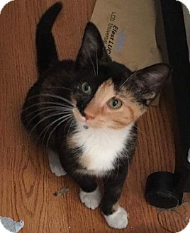 Calico Kitten for adoption in Old Bridge, New Jersey - Calie