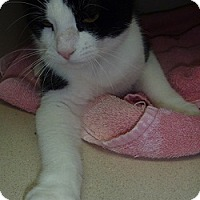 Domestic Shorthair Cat for adoption in Hamburg, New York - Paxton