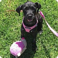 Adopt A Pet :: Grayson - West LA, CA