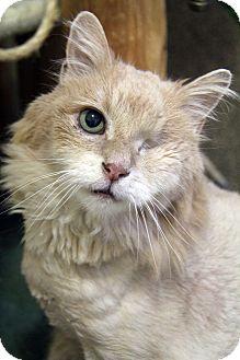 Domestic Mediumhair Cat for adoption in Portland, Oregon - Leo