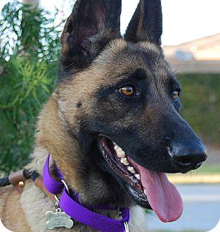 Belgian Malinois Dog for adoption in Glendale, California - LILY