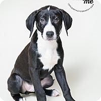 Adopt A Pet :: Zues - Apache Junction, AZ