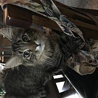 Adopt A Pet :: Roper - Rochester, MI