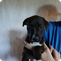 Adopt A Pet :: Hailey - Oviedo, FL