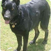 Adopt A Pet :: Chief - Gilbert, AZ