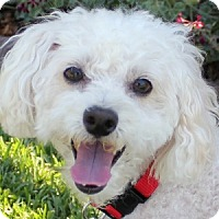 Adopt A Pet :: Cricket - La Costa, CA