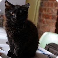 Adopt A Pet :: Inky Bear - Brooklyn, NY