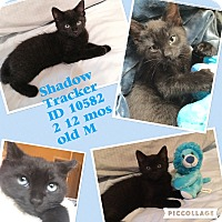 Adopt A Pet :: Shadow - Colmar, PA