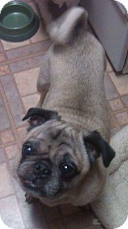 Pug Mix Dog for adoption in Greensboro, Maryland - Mack