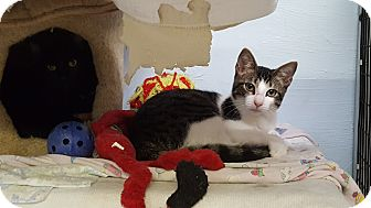 Domestic Shorthair Kitten for adoption in Maryville, Illinois - Chippy