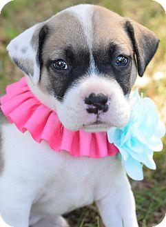 Pit Bull Terrier/Bulldog Mix Puppy for adoption in Denver, Colorado - Bernice