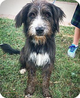 Irish Wolfhound/Bearded Collie Mix Dog for adoption in Fredericksburg, Texas - Cody
