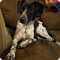 Adopt A Pet :: Scout - New Oxford, PA