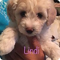 Adopt A Pet :: Lindi - Brea, CA