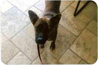 Boxer Mix Dog for adoption in Scottsdale, Arizona - Jazzy