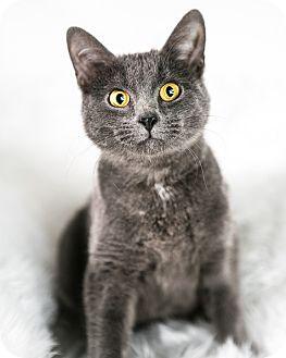 Domestic Shorthair Cat for adoption in Eagan, Minnesota - Penny