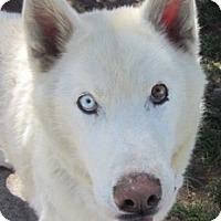 Adopt A Pet :: Gulliver - Kettle Falls, WA