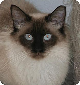 Siamese Cat for adoption in Colorado Springs, Colorado - Sylvia