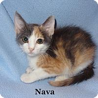 Adopt A Pet :: Nava - Bentonville, AR