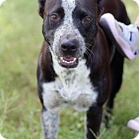 Adopt A Pet :: Tigressa - McAllen, TX