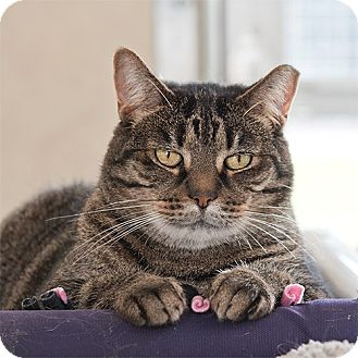 Domestic Shorthair Cat for adoption in Wilmington, Delaware - Samantha