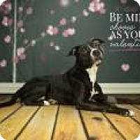 American Pit Bull Terrier Mix Dog for adoption in Janesville, Wisconsin - Willow