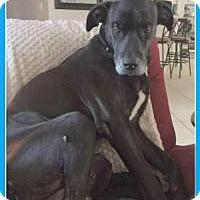 Great Dane Mix Dog for adoption in New Smyrna Beach, Florida - Prince