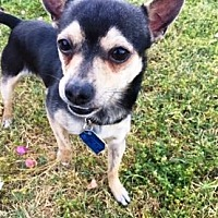 Adopt A Pet :: Joey - Gilbert, AZ