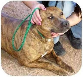 American Pit Bull Terrier Dog for adoption in Las Vegas, Nevada - Hercules
