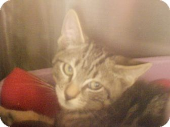 Domestic Shorthair Kitten for adoption in Maywood, New Jersey - Ted