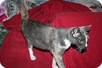 Domestic Shorthair Cat for adoption in Santa Rosa, California - Belladonna