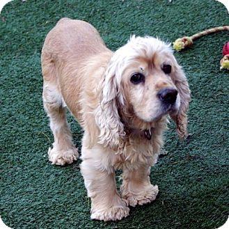 Cocker Spaniel Mix Dog for adoption in Sacramento, California - Watson