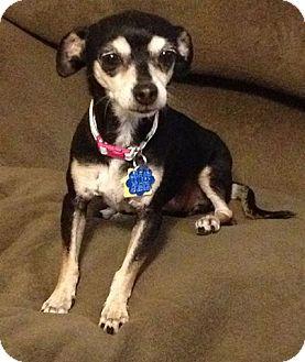 Chihuahua Mix Dog for adoption in Las Vegas, Nevada - Bonita