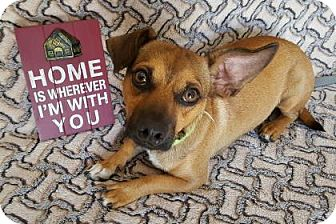 Chihuahua/Pug Mix Dog for adoption in Yucaipa, California - Sam Jackson