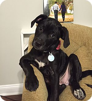 Labrador Retriever Mix Puppy for adoption in Chattanooga, Tennessee - Molly