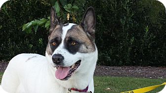 Akita Dog for adoption in Virginia Beach, Virginia - Pepper Potts