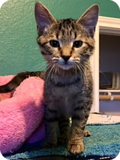 Domestic Shorthair Kitten for adoption in Fort Worth, Texas - Dixie