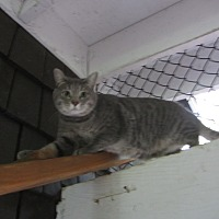 Domestic Shorthair Cat for adoption in Kingston, Washington - Chambray