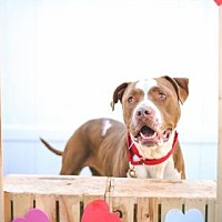 American Staffordshire Terrier Mix Dog for adoption in Santa Paula, California - Jude