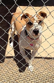 Pit Bull Terrier/Terrier (Unknown Type, Medium) Mix Dog for adoption in Fowler, California - Kaia