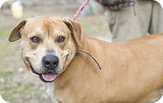Boxer/Staffordshire Bull Terrier Mix Dog for adoption in Hot Springs, Arkansas - Bear