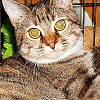 American Shorthair Cat for adoption in Chattanooga, Tennessee - Clover