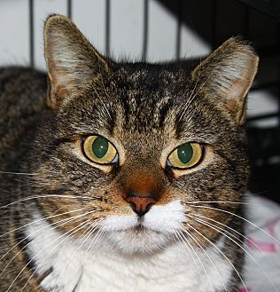 Domestic Shorthair Cat for adoption in North Branford, Connecticut - Cassie