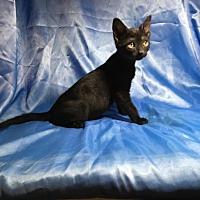 Domestic Shorthair Kitten for adoption in Sarasota, Florida - Markus