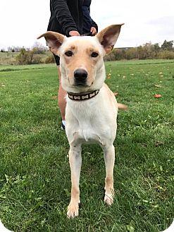 Labrador Retriever/Shepherd (Unknown Type) Mix Dog for adoption in Maryville, Missouri - Lady 2